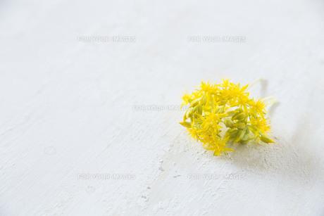 黄色い多肉植物の花の写真素材 [FYI01171252]