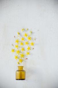 アンティークのガラスの小瓶から噴き出した黄色い多肉植物の花たちの写真素材 [FYI01171254]