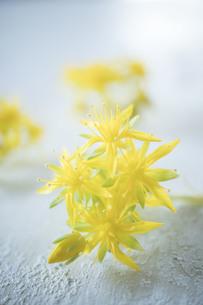 黄色い多肉植物の花の写真素材 [FYI01171256]