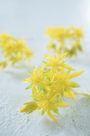 黄色い多肉植物の花の写真素材 [FYI01171257]