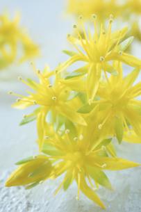 黄色い多肉植物の花の写真素材 [FYI01171258]