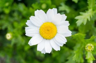 ノースポールの花の写真素材 [FYI01171362]