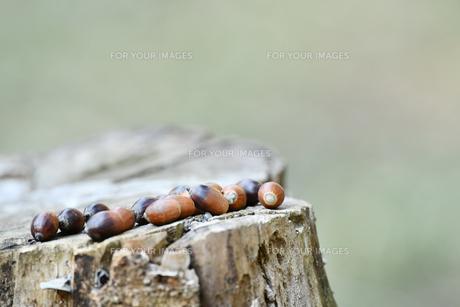 切り株のドングリの写真素材 [FYI01171501]