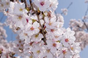 桜咲くの写真素材 [FYI01171733]