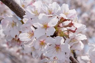 桜咲くの写真素材 [FYI01171735]