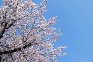 桜咲くの写真素材 [FYI01171738]
