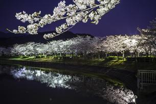 風景 背景 自然 植物 花 素材 桜 夜桜 池 水辺 夜 サクラ さくらの写真素材 [FYI01171757]