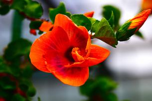 ハイビスカスの開花前の写真素材 [FYI01171908]