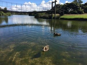 池とアヒルの写真素材 [FYI01172108]