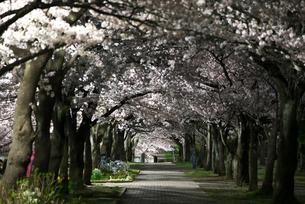 満開の夜桜が作る花のトンネルの写真素材 [FYI01172129]