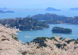 日本三景 松島 西行戻しの松公園の桜の写真素材 [FYI01172299]