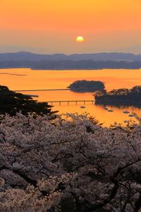 日本三景 松島 西行戻しの松公園の桜の写真素材 [FYI01172310]