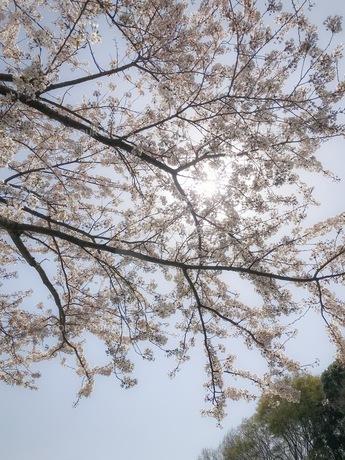 桜と空の写真素材 [FYI01172369]