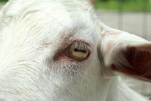 山羊の目のアップの写真|動物・ヤギの写真素材 [FYI01172412]