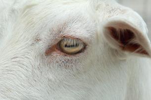 山羊の目のアップの写真|動物・ヤギの写真素材 [FYI01172413]