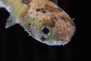 ハリセンボンの顔のアップ|魚の写真素材 [FYI01172414]