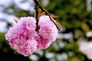 八重桜の写真素材 [FYI01172425]