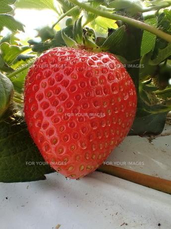 ハウス栽培のイチゴの接写写真の写真素材 [FYI01172666]