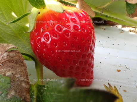 ハウス栽培のイチゴの接写写真の写真素材 [FYI01172671]