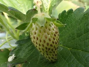ハウス栽培のイチゴの接写写真の写真素材 [FYI01172672]