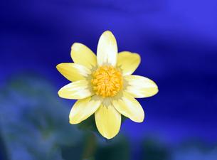 大阪のクンショウギクの花の写真素材 [FYI01172721]