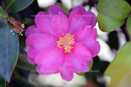大阪のひなげしの花の写真素材 [FYI01172723]