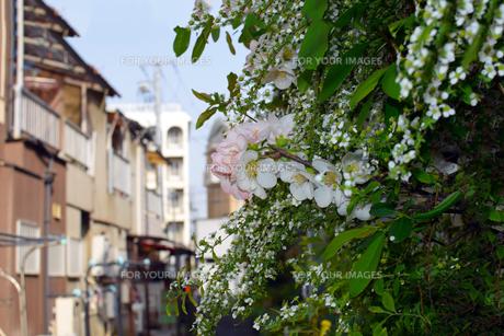 路地裏のソメイヨシノの写真素材 [FYI01172725]