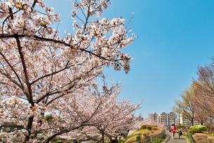 桜並木と親子の写真素材 [FYI01173036]