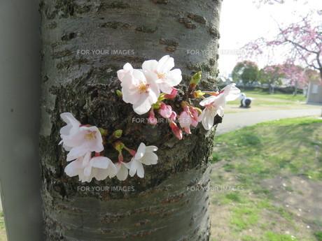 桜の新芽の写真素材 [FYI01173053]