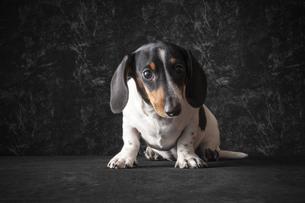 犬のポートレートの写真素材 [FYI01173058]