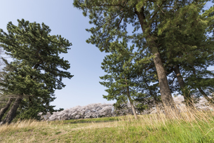 多摩川五本松と桜並木の写真素材 [FYI01173066]