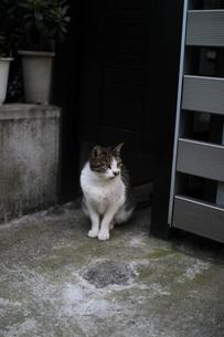 街で出くわした視線を送る猫の写真素材 [FYI01173120]