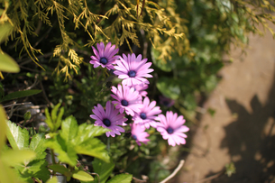 庭に咲くアフリカンデイジーの写真素材 [FYI01173121]