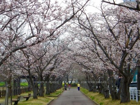 公園にある桜のトンネルの写真素材 [FYI01173159]