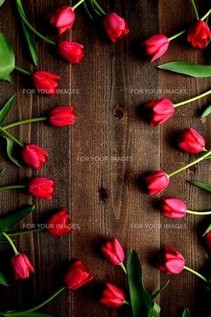 赤色のチューリップたくさん 黒木材背景 の写真素材 [FYI01173292]