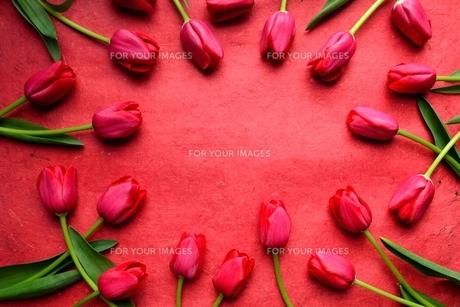 たくさん並んだ赤色のチューリップと赤い紙  の写真素材 [FYI01173295]