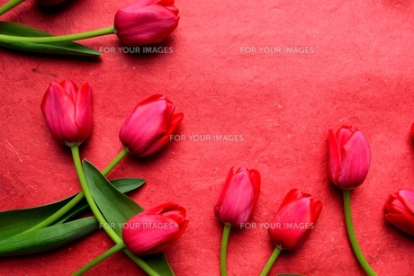 たくさん並んだ赤色のチューリップと赤い紙  の写真素材 [FYI01173296]