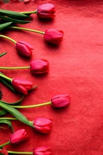 たくさん並んだ赤色のチューリップと赤い紙  の写真素材 [FYI01173299]