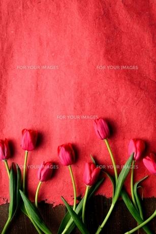 たくさん並んだ赤色のチューリップと赤い紙  の写真素材 [FYI01173300]