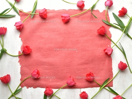 たくさん並んだ赤色のチューリップと赤い紙 白木材背景 の写真素材 [FYI01173302]