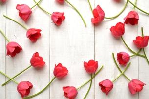 たくさん並んだ赤色のチューリップ 白木材背景 フレームの写真素材 [FYI01173305]