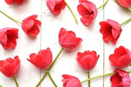 たくさん並んだ赤色のチューリップ 白木材背景 の写真素材 [FYI01173312]
