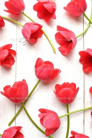 たくさん並んだ赤色のチューリップ 白木材背景 の写真素材 [FYI01173317]