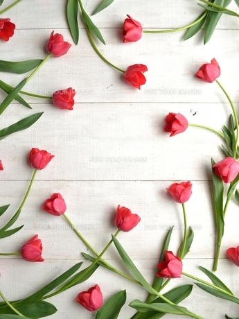 たくさん並んだ赤色のチューリップ 白木材背景 フレームの写真素材 [FYI01173330]