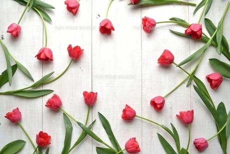 たくさん並んだ赤色のチューリップ 白木材背景 フレームの写真素材 [FYI01173331]
