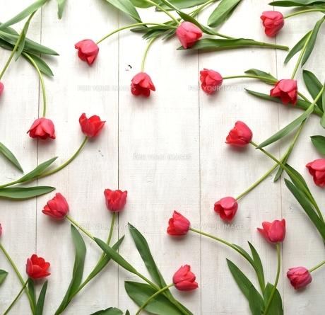たくさん並んだ赤色のチューリップ 白木材背景 フレームの写真素材 [FYI01173332]