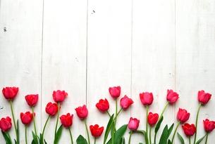 たくさん並んだ赤色のチューリップ 白木材背景の写真素材 [FYI01173333]