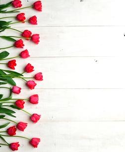 たくさん並んだ赤色のチューリップ 白木材背景の写真素材 [FYI01173334]