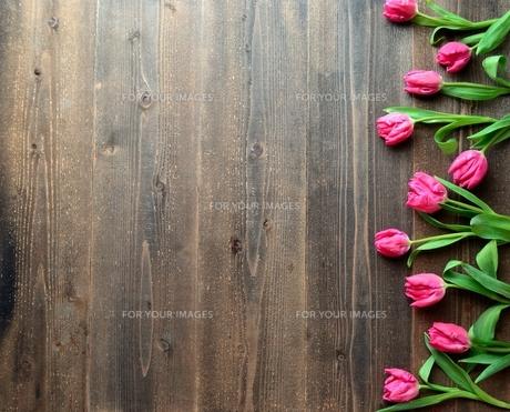 ピンク色のチューリップたくさん 黒木材背景の写真素材 [FYI01173350]