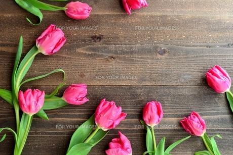 ピンク色のチューリップたくさん 黒木材背景の写真素材 [FYI01173351]